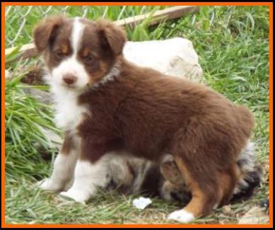 Bandit's Spring Litter#1-Pup9-bet (blue eyed) red tri ...