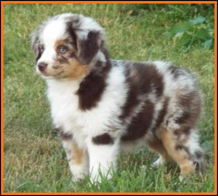 Blue Eyed Tri Mini Australian Shepherd Puppies