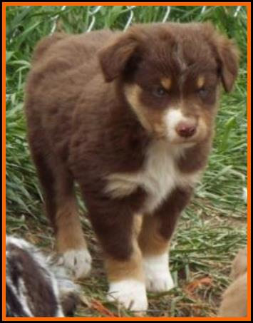 Bandit's Spring Litter#1-Pup4-bet (blue eyed) red tri male ...