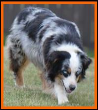 Mini & Toy Aussie Females-Red & blue merle females-producing top