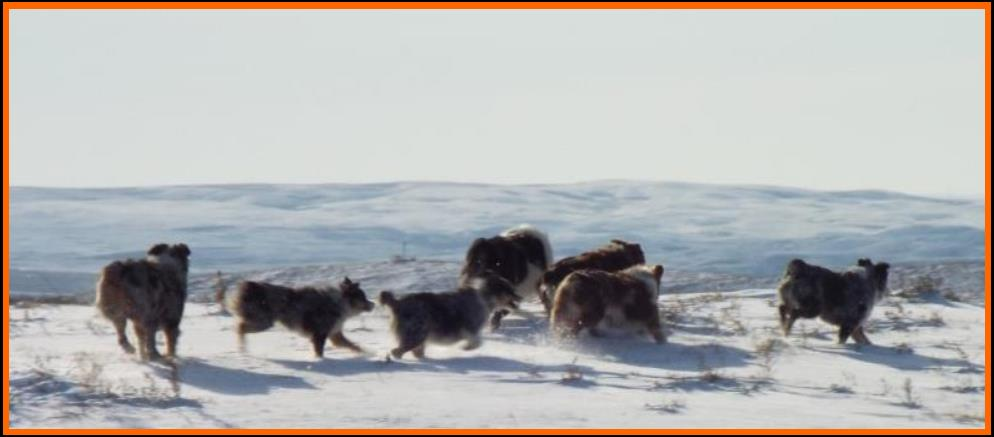 Mini & Toy aussie dogs enjoying the first snow fall of the season @ packetranch.com- Canada