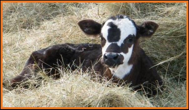 black brockle face calf